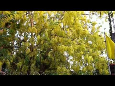 National Flower of Thailand - Cassia fistula (Ratchaphruek)