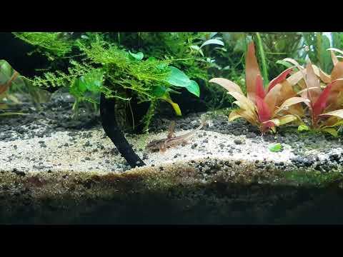 Red Lizard Catfish(Rineloricaria Sp. L010A)