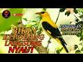 Pancingan Kepodang Agar Bunyi Kepodang Emas Gacor Black Naped Oriole Call Golden Oriole Song  Mp3 - Mp4 Download