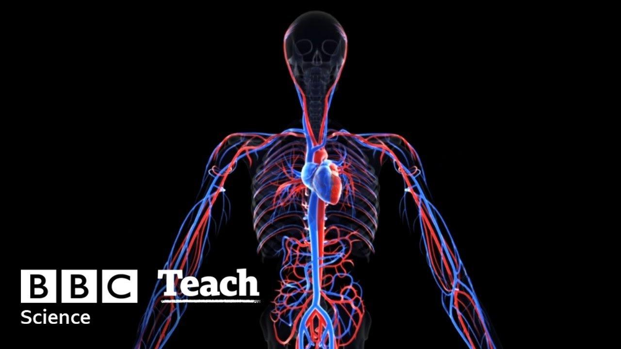 Human Circulatory System For Ks1 And Ks2 Children Heart