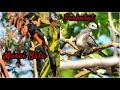 Suara Kicauan Burung Murai Batu Dan Perkutut Kombinasi Dengan Foto Yang Sangat Cantik Dan Indah  Mp3 - Mp4 Download