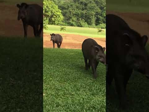 Lowland Tapir l A couple seen in Kabalebo l Suriname
