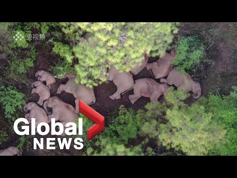 """""""Langer Marsch"""" von Chinas Elefanten - Spektakel und Drama"""