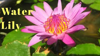 How to fertilize Water Lily Plant||How to grow and care water Lily||Backyard Gardening screenshot 3