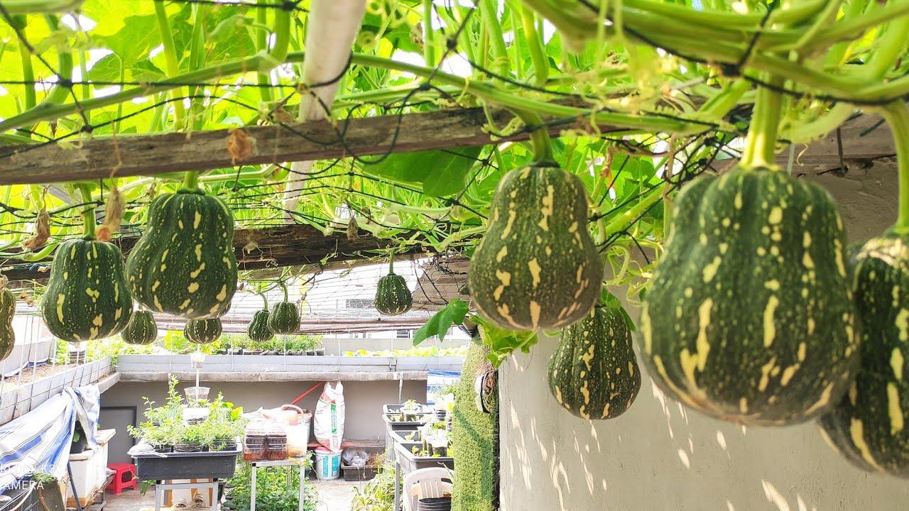 Chia sẻ cách trồng Bí Đỏ Hạt Đậu leo giàn , rất dễ trồng    Khoa Hien 397