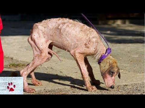Amazing recovery of emaciated, mangy stray dog
