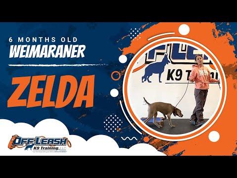 Weimaraner, 6 mo old, Zelda | Weimaraner Dog Training | Off Leash K9