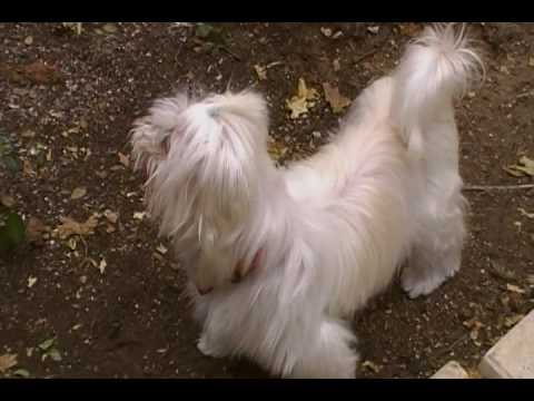 Faith - CRA foster dog (Maltese/Chinese Crested (Powder Puff) mix)