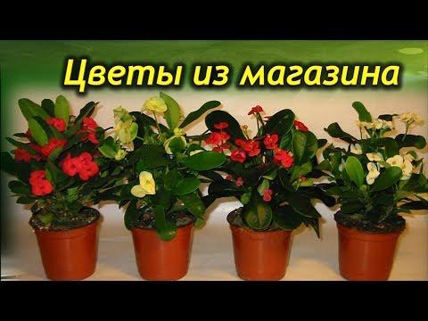 Почему в магазине растение пышные и красивые, а дома не растут! Мифы и правда о цветах из магазина.