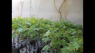 почва для посадки саженцев винограда