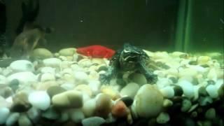 Содержание мускусной черепахи в аквариуме