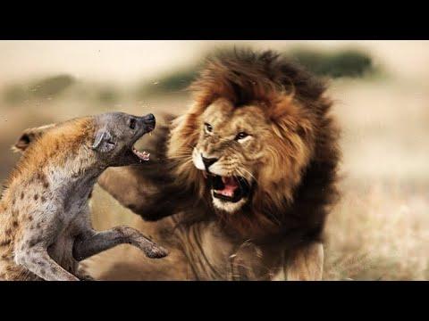 Territorio de leones: Rivales de sangre || Documentales nat geo wild Español 2020 HD