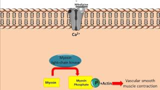Mechanism of action for Calcium Channel Antagonists