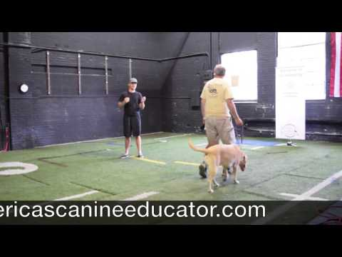 How to stop a Leash pulling Yellow Lab - America's Canine Educator