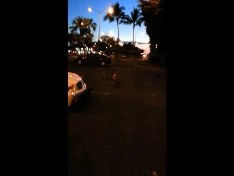 Cats over population problem in Hawai'i