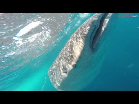 Whale Sharks in Cancun, Mexico