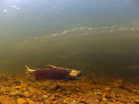 Zombie Coho Salmon (Patrick Cooney)