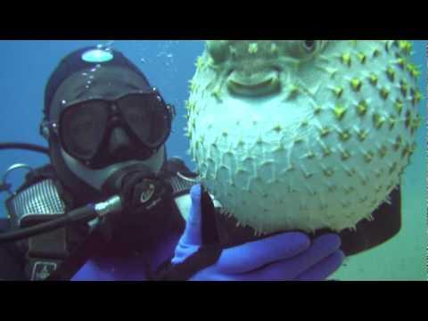 Как выглядит рыба шар