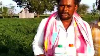 How to control Chillis Leaf Curl Virus & Gemini Virus Mirch,pepper,capsicum Mantralayam Former AP.
