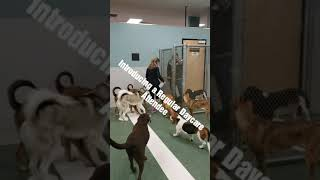 Introducing a Returning Daycare Dog