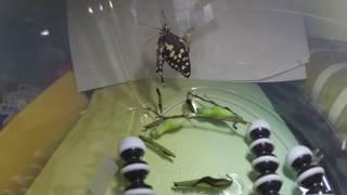 前陣子,福克斯於家中發現了鳳蝶的毛毛蟲,就帶小朋友一起把這三隻毛毛...