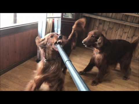 Irish setter barking on a vacuum cleaner