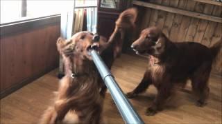 Irish setter barking on a vacuum cleaner