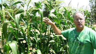 Green Garden TIPS: How to grow tall corn