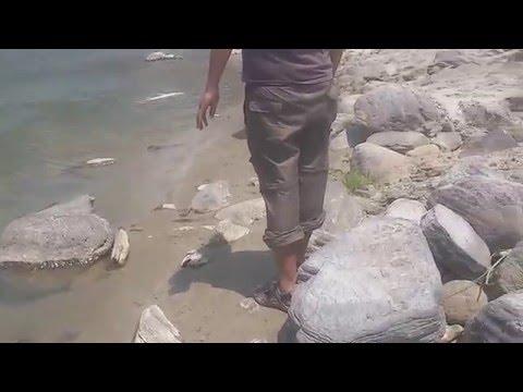 Golden Masheer catch in sun koshi river nepal 16.5kg