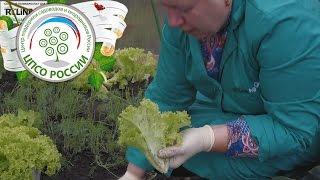 Выращиваем салат в теплице осенью. Выборочная уборка.