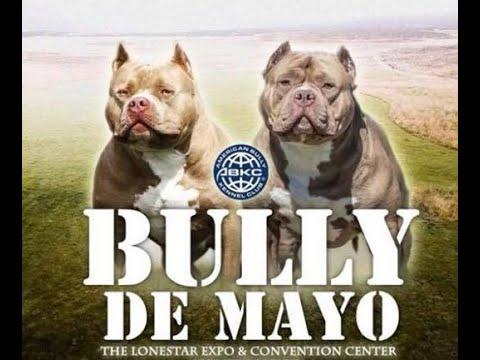 THE AMERICAN BULLY Dog Show | Bully De Mayo | American Bully Show Documentary