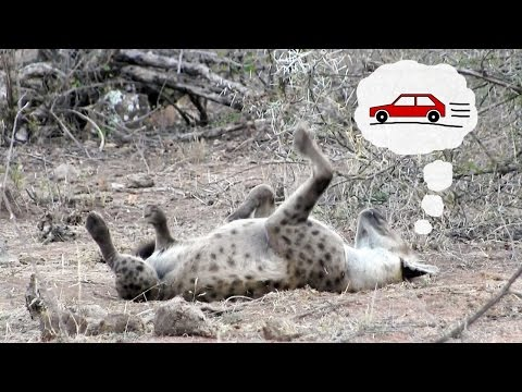 Sleeping hyena chasing cars   Funny wild animal behavior from Kruger National Park, South Africa