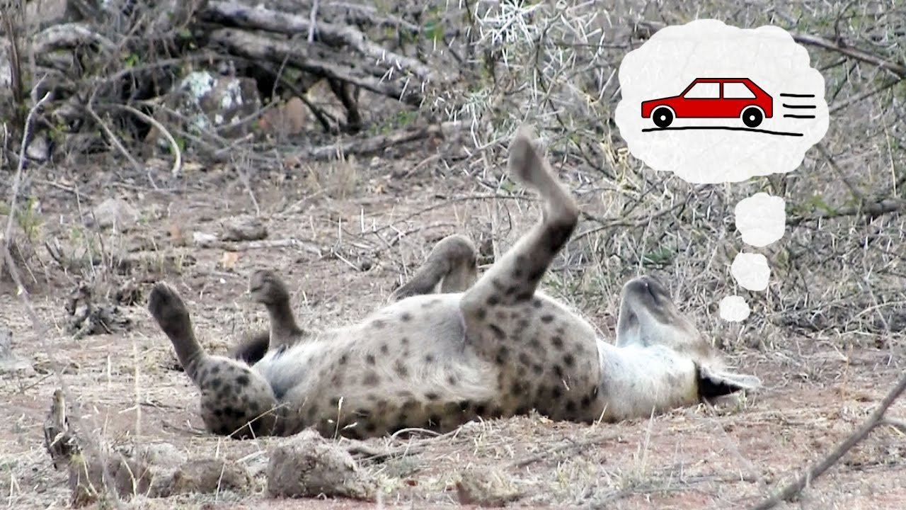 Sleeping Hyena Chasing Cars Funny Wild Animal Behavior From Kruger National Park South Africa