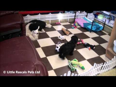Little Rascals UK breeders New litter of Poodle little girl