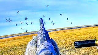 Северная утка прет дуром садится прям в скрадок Поставил скрадок в поле и пошло Охота на утку 2021