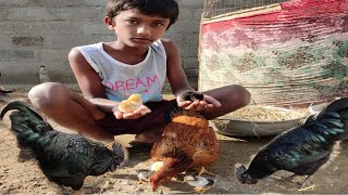 MURGI Hen Harvesting eggs to Chicks Small Birds Hatching ''Roosters and Hens'' Fish Cutting A to Z