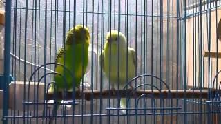 Брачные игры попугаев