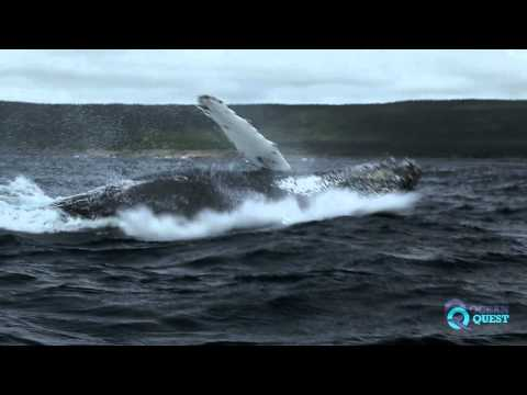 Close Encounters: Snorkeling with Whales | Humpback Whale Breaching