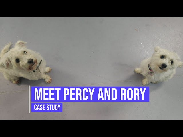 Meet Percy and Rory, two easily distracted dogs with obedience issues