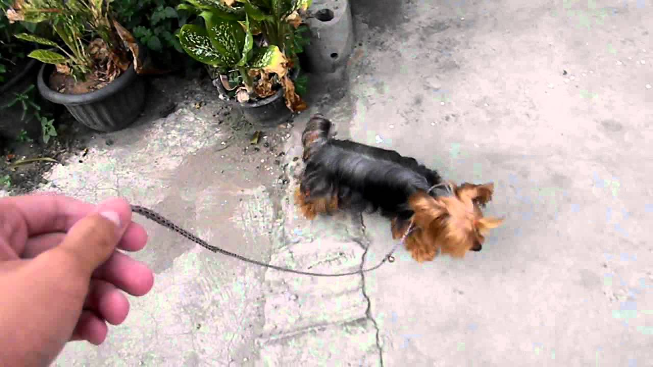 Bebi Walk On Leash Yorkshire Terrier
