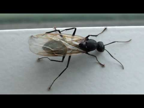 Black Carpenter Ant (Formicidae: Camponotus) Winged Male