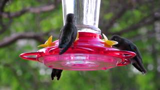 Hummingbirds, Paso Robles, California #2
