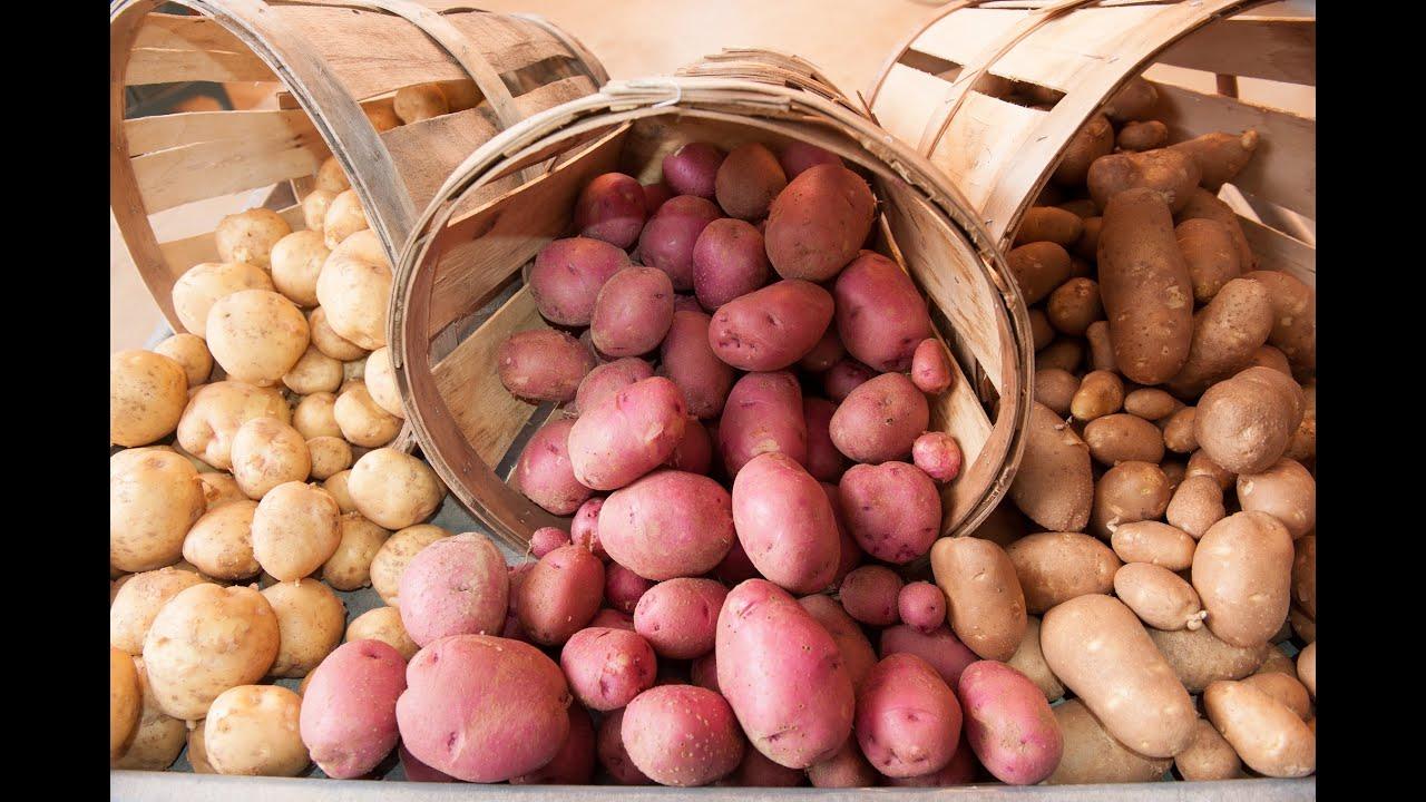 картофель илона описание сорта фото отзывы