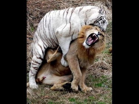 Lion Attack Tiger | National Geographic Wild 2015 | Animals Attack Willdife Documentary