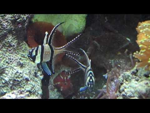 Bangai Cardinal Fish Mating Dance.MP4