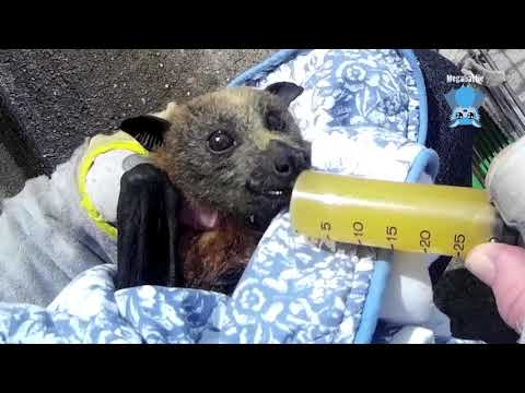 Rescue of a flying-fox at a transport depot:  Milla and Perri