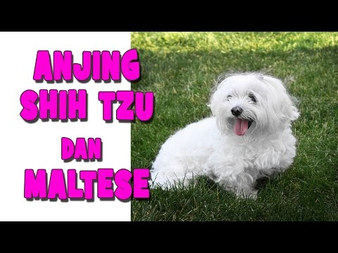 anjing-maltese-dan-shih-tzu-mainan,-a-tribute-to-my-dog-:-kimmy