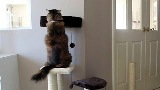 Cat Tree. Funny. Cassie Investigates The Best Scratching Post.