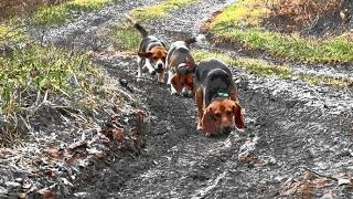 Skyview's Beagles Rabbit Hunting