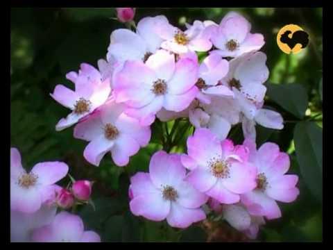 Ландшафтные розы. Мускусные гибриды. Розы в Саду 16